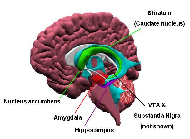 cervello e circuiti neuronali
