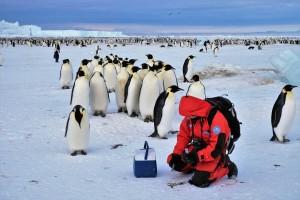 Un ricercatore nelle pinguinaie